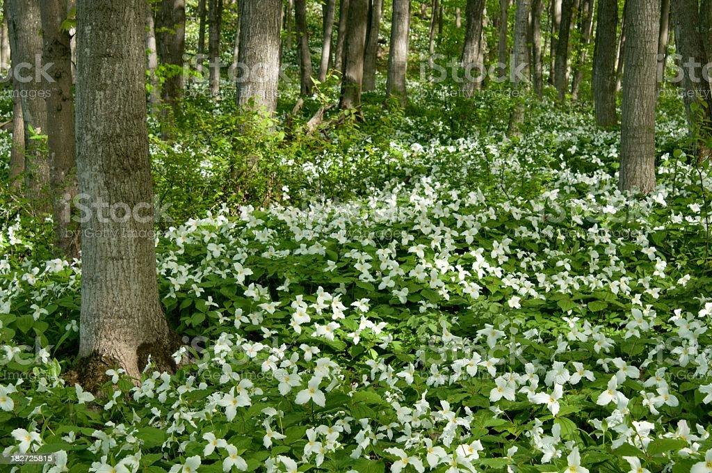 Trillium Forest in Northern Michigan stock photo