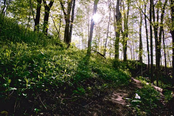 Trillium in nature stock photo