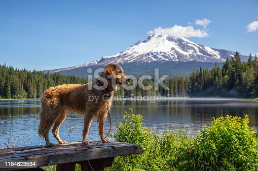 Golden Retriever is standing by the beautiful lake with Hood Mountain Peak in the background during a vibrant sunny summer day. Taken from Trillium Lake, Mt. Hood National Forest, Oregon, United States of America.