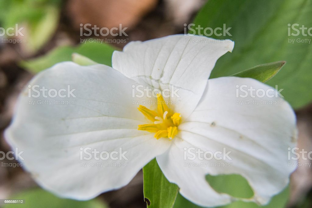 Trillium macro in springtime forest royalty-free stock photo