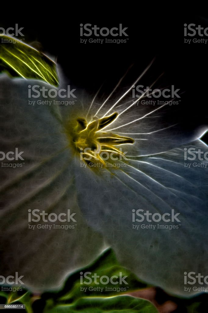 Trillium macro in springtime forest photo libre de droits