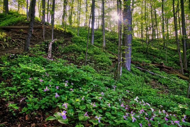 trillium on the mountain in spring stock photo