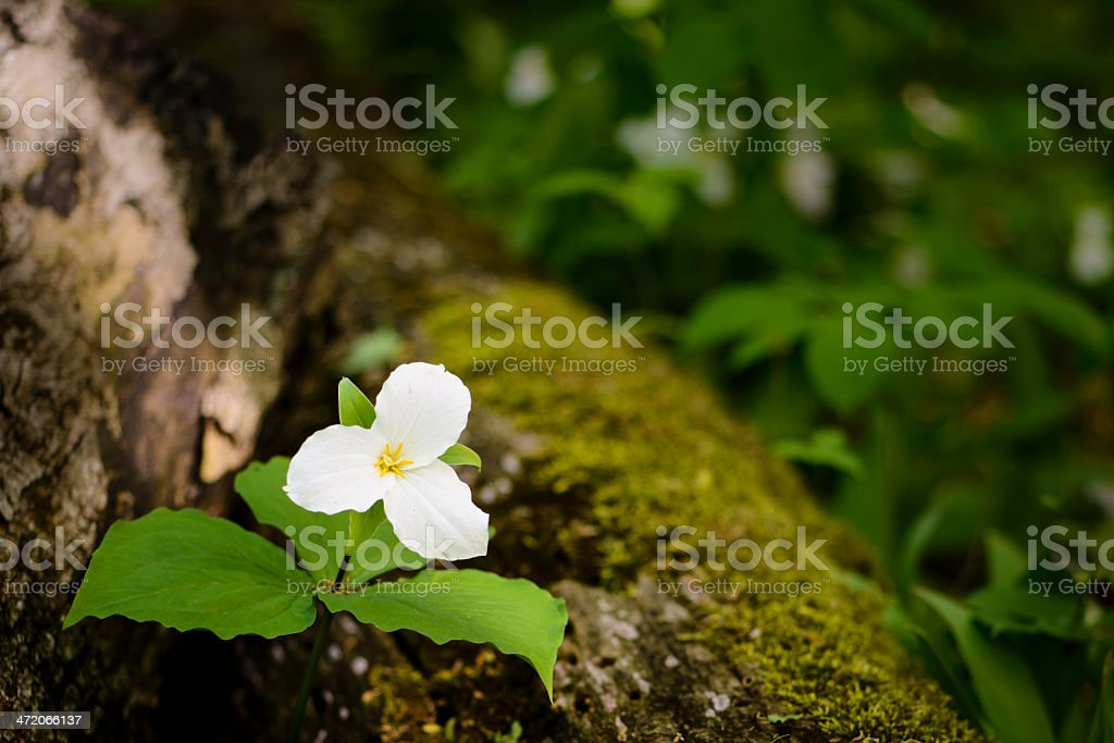 Trillium Wildflower stock photo