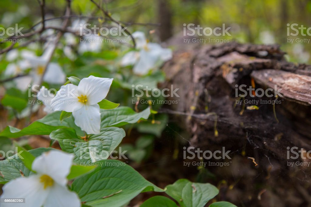 Trilliums blooming in the springtime forest royalty-free stock photo