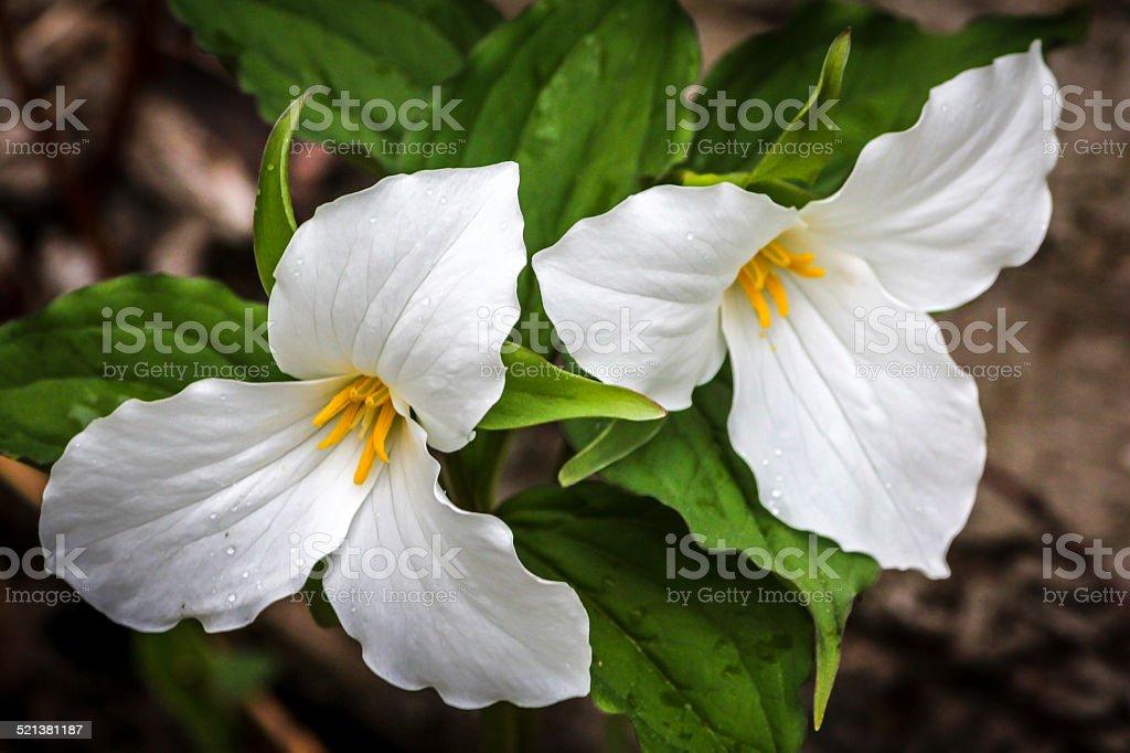 Trilliums stock photo