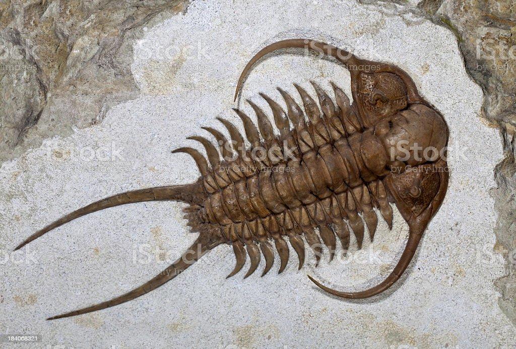 Image result for images of trilobites