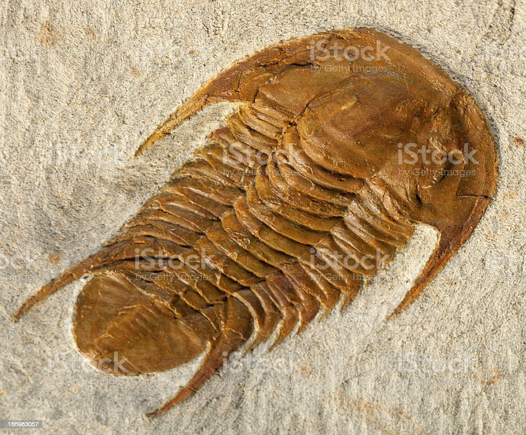 Trilobite fossil royalty-free stock photo