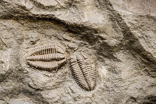 istock Trilobite fossil 636402428