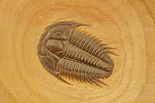 trilobite: modocia typicalis - fossil stock photos and pictures