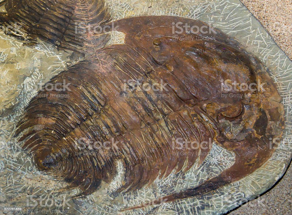 Trilobite Paradoxides spiulosus stock photo