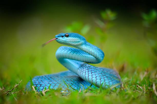 Trimeresurus Insularis Blue, Beautiful Pit Viper stock photo
