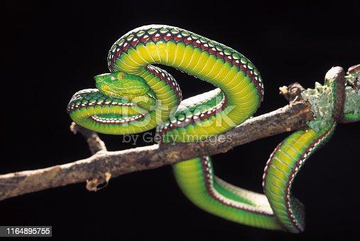 Trimeresurus Medoensis. Medo Pit Viper. Venomous. Rarely available. One of the few color photographs of this snake. Arunachal Pradesh, India.