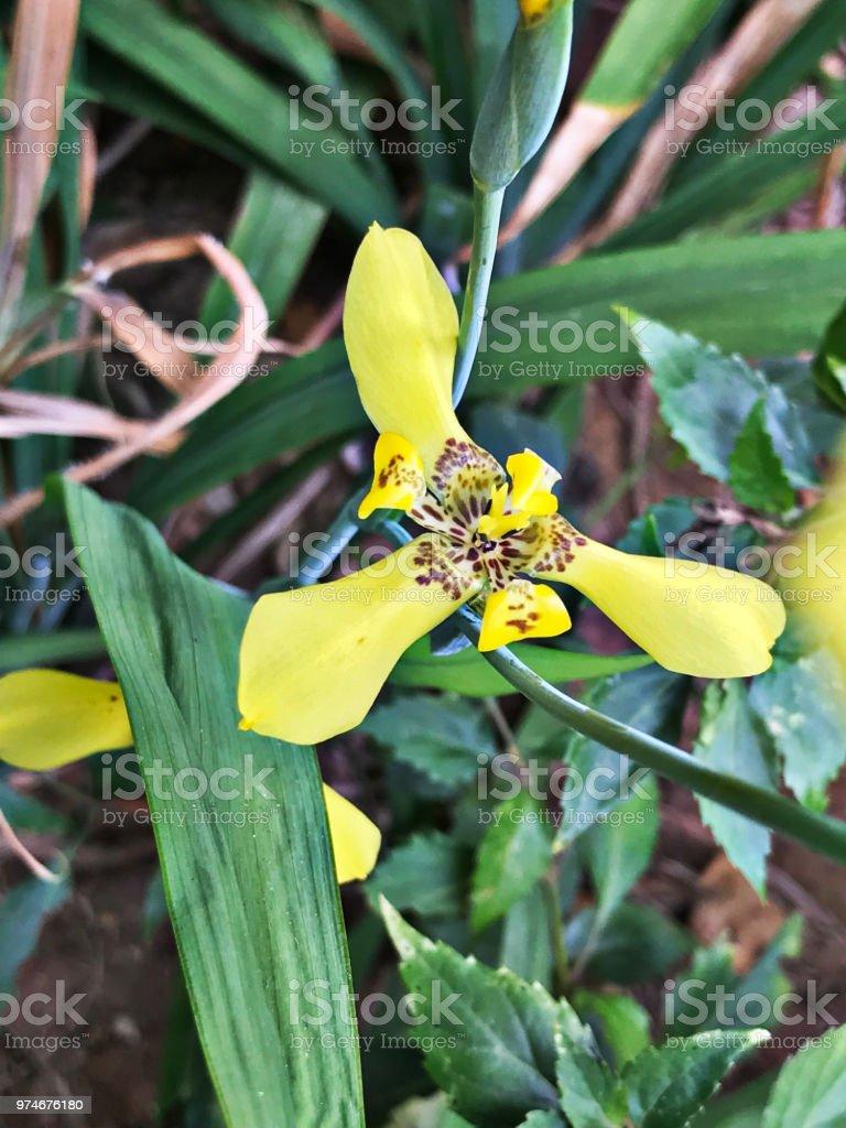 Trimezia fosteriana or trimezia steyermarkii or yellow walking iris trimezia fosteriana or trimezia steyermarkii or yellow walking iris or hand of god flower royalty izmirmasajfo