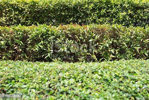 Trimmed bushes. Several rows of clipped shrubs natural texture.