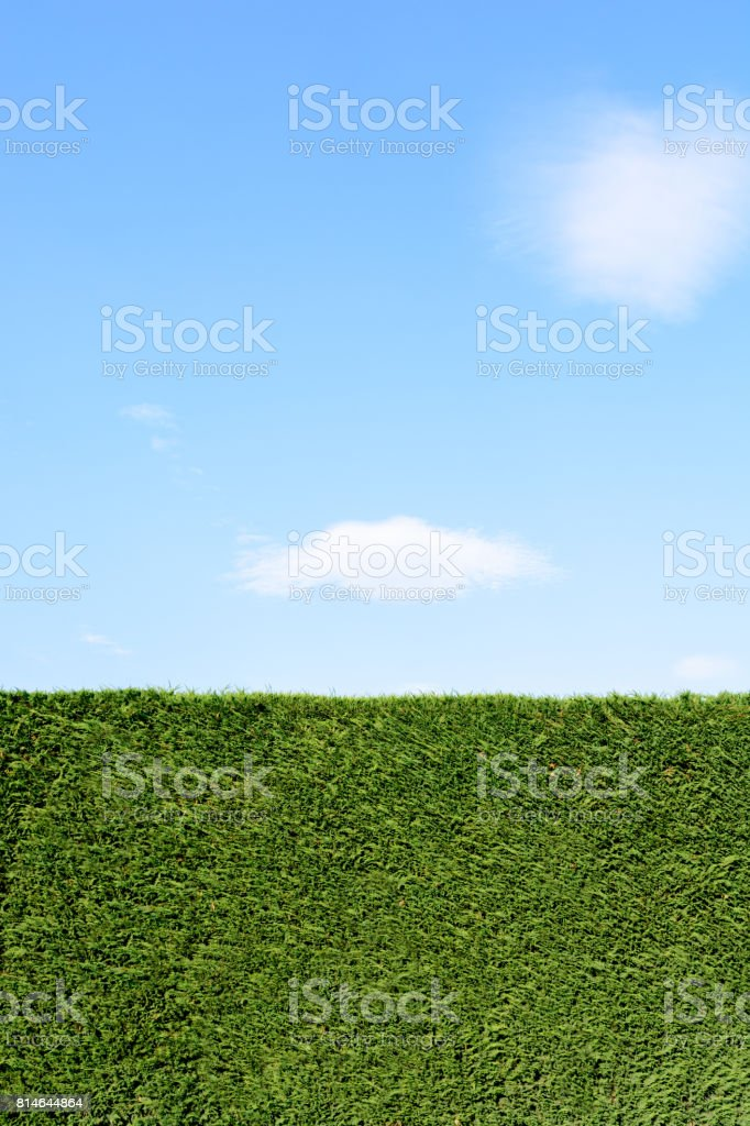 A trimmed cedar hedge under a blue sky with a white cloud.