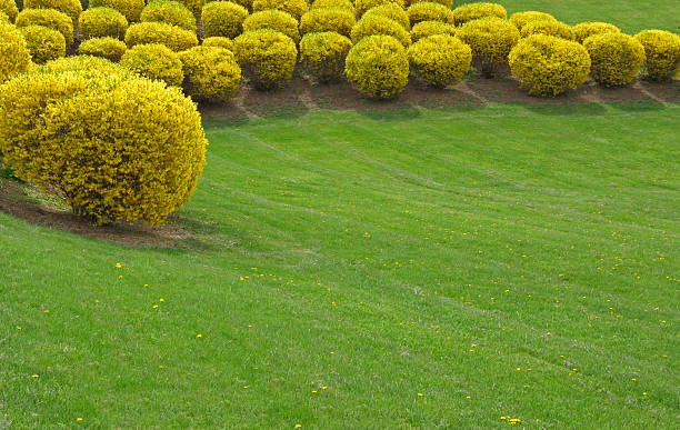 Trimmed forsythia stock photo