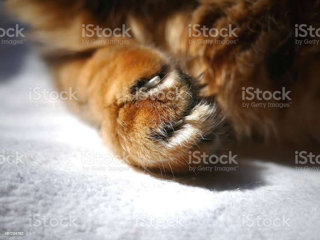 Trimmed Nails Bengal Cat Claws Paw Close Up No Declawing Stock Photo ...