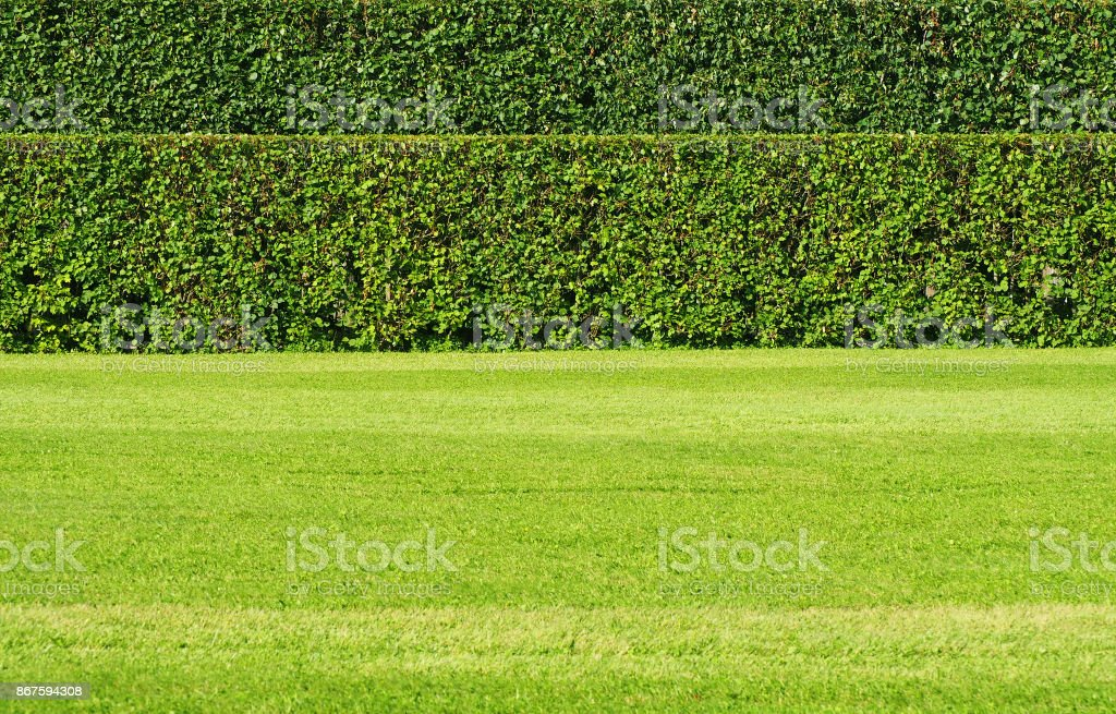 Trimmed shrub fence. Green hedge fence with green grass floor....