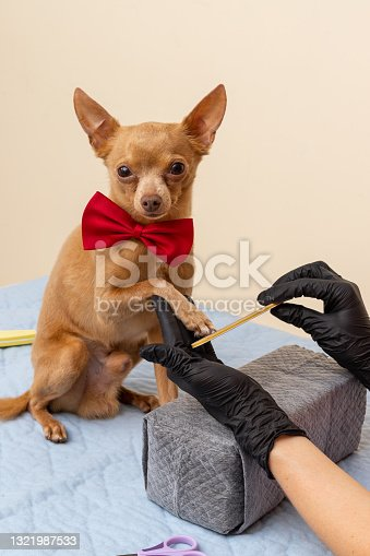 istock Trimming dogs nail. Pedigree Senior Dog Toy Terrier's Lifestyle. Professional trim pet nails. 1321987533
