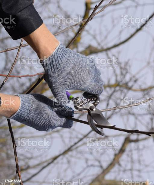 Trimming tree with a cutter spring pruning of fruit trees picture id1170348388?b=1&k=6&m=1170348388&s=612x612&h=4wn1laxrgmln jagmzr lqe9 lpmf4ot0j8fczwmg4y=