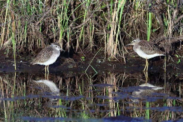 Tringa glareola. Aves nas margens do pântano no norte da Sibéria - foto de acervo
