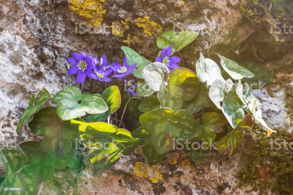 erba trinità nel bosco - anemone hepatica macro - foto di stock immagine stock photo
