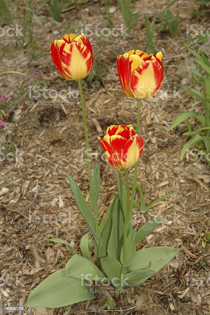 Trinity of Tulips stock photo