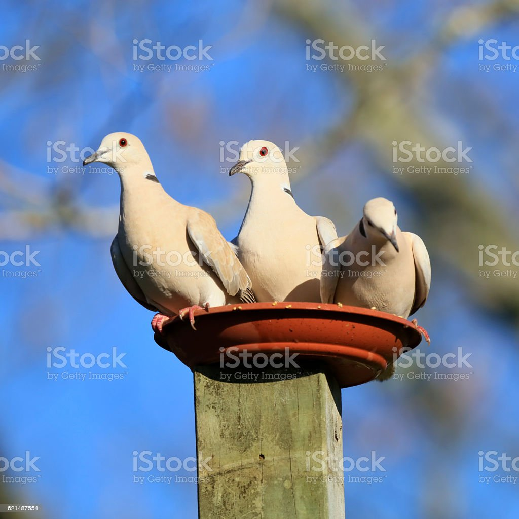 Trio of black ring necked, beige coloured doves foto stock royalty-free