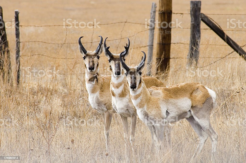 trio of curious pronghorn antelopes stock photo