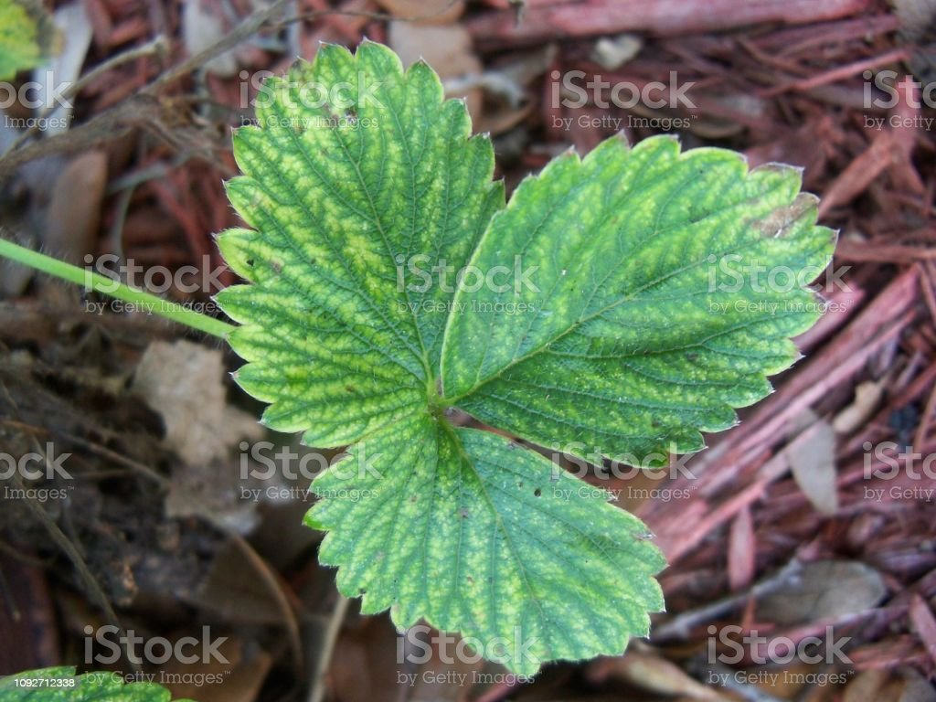 Trio of green Strawberry leaves stock photo