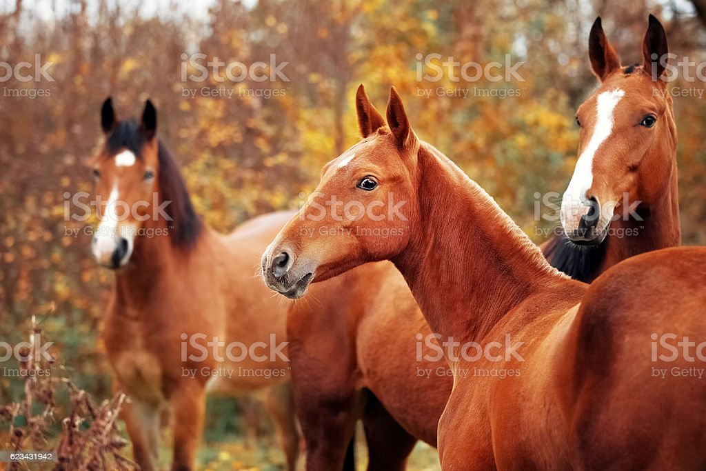 Trio of horses in the herd of horses stock photo