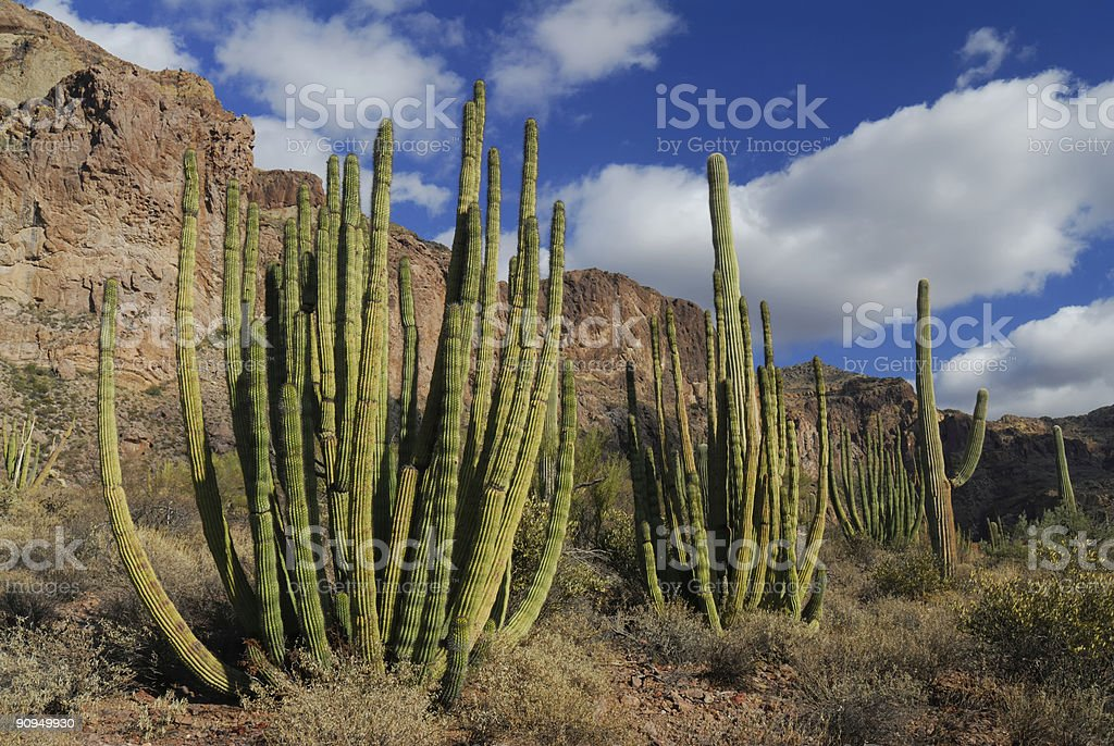 Trio of Organ Pipe Cactus royalty-free stock photo