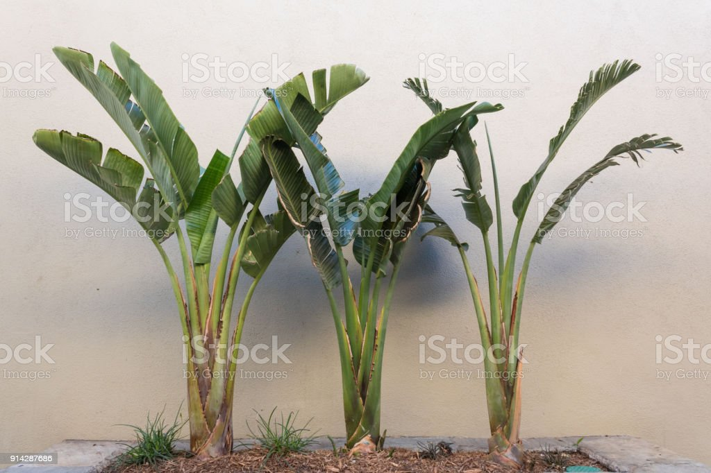 Trio Of Palms In A Stone Planter Set Against A Beige Stucco Wall