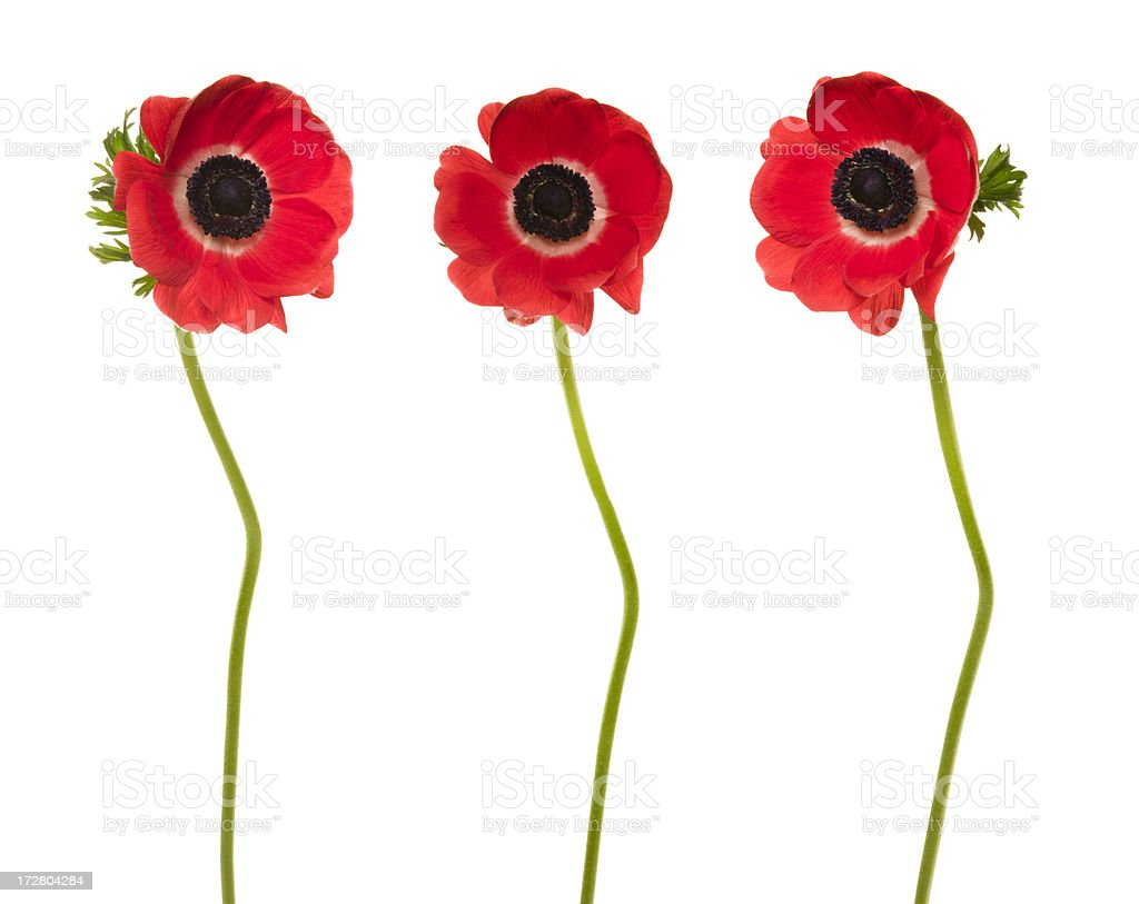 Trio of Red Poppies (XXXL) royalty-free stock photo