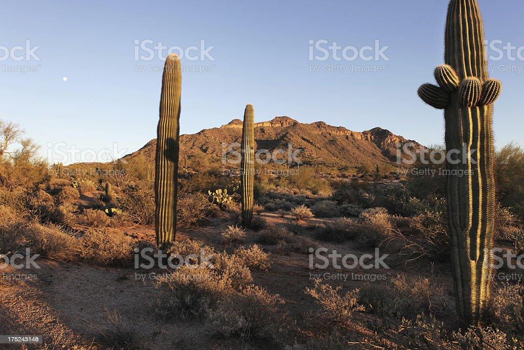 Trio of Saguaros royalty-free stock photo