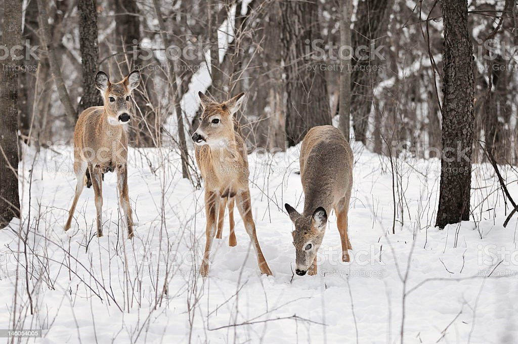 Trio of White-Tailed Deer in Snowy Woods stock photo