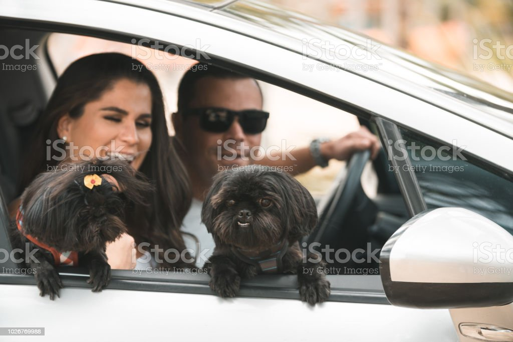 A trip by car with the lovely dogs stock photo