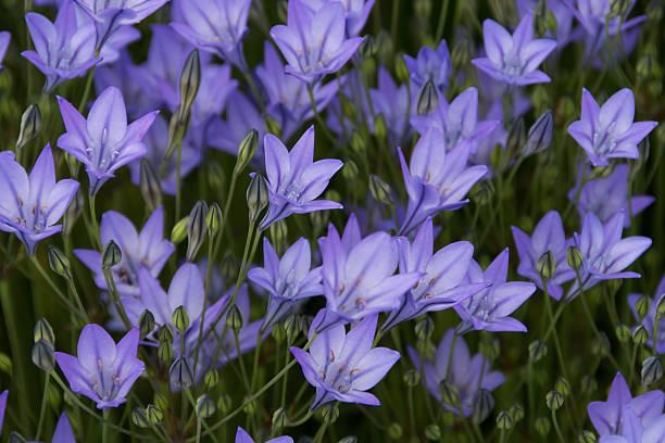 triteleia - brodiaea photos et images de collection