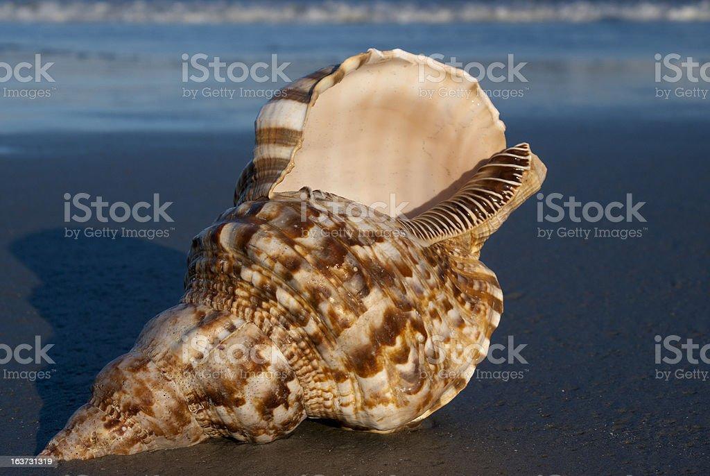 Triton Shell on the Beach stock photo