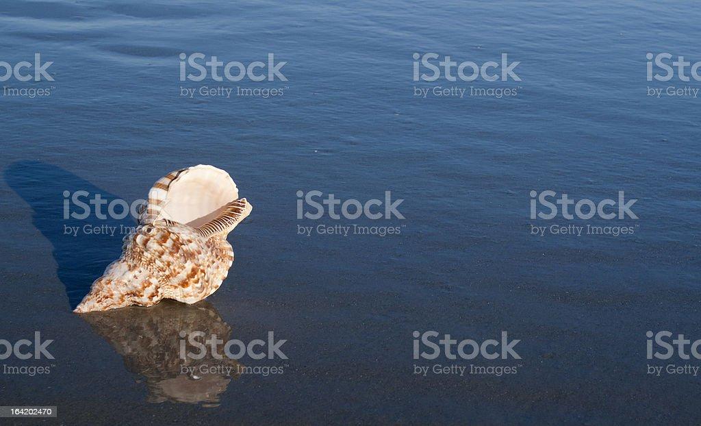 Triton Shell on the Beach royalty-free stock photo