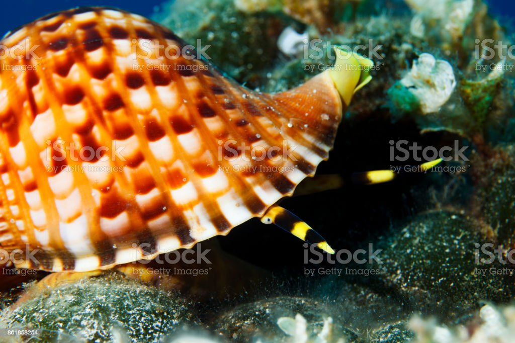 Triton shell Sea life  Underwater  Scuba diver point of view Mediterranean sea stock photo