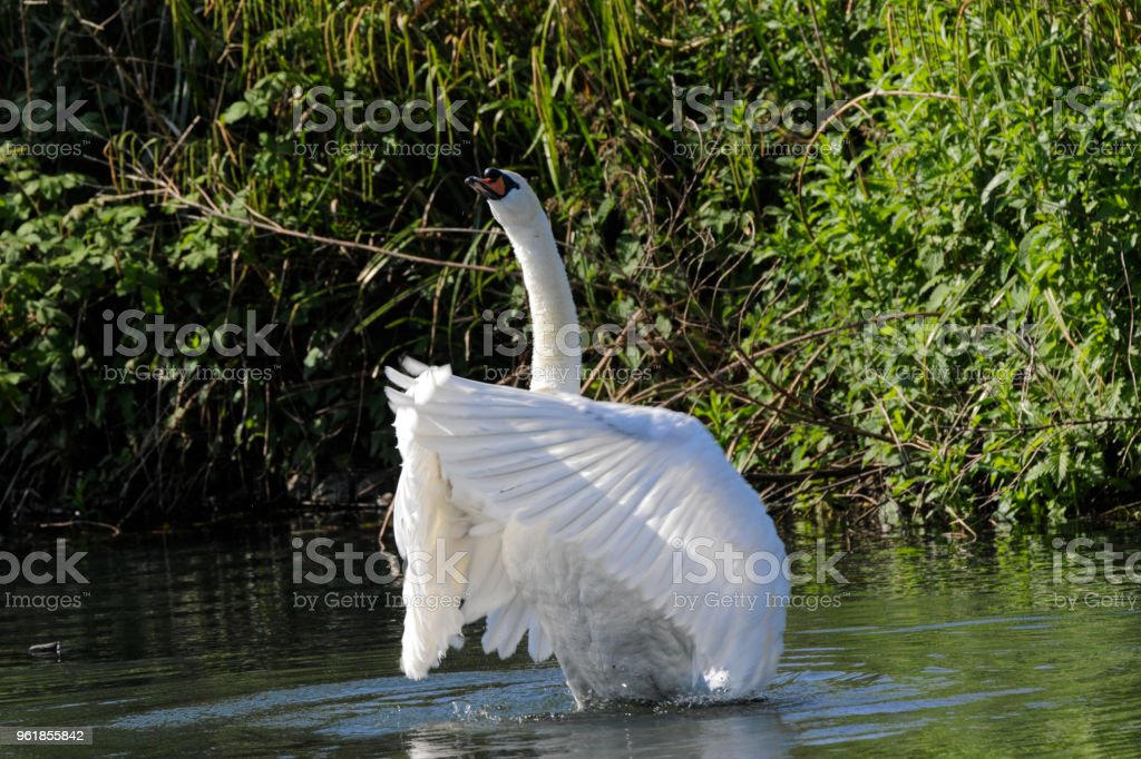 Triumphant clapping of wings mute swan heraldic pose stock photo
