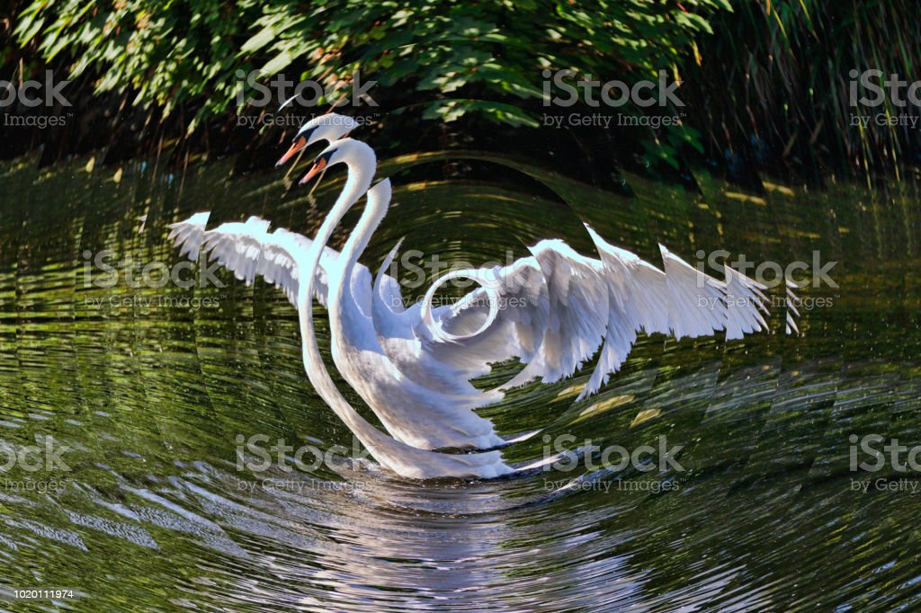 Triumphant mute swan with fractal rippling effect stock photo