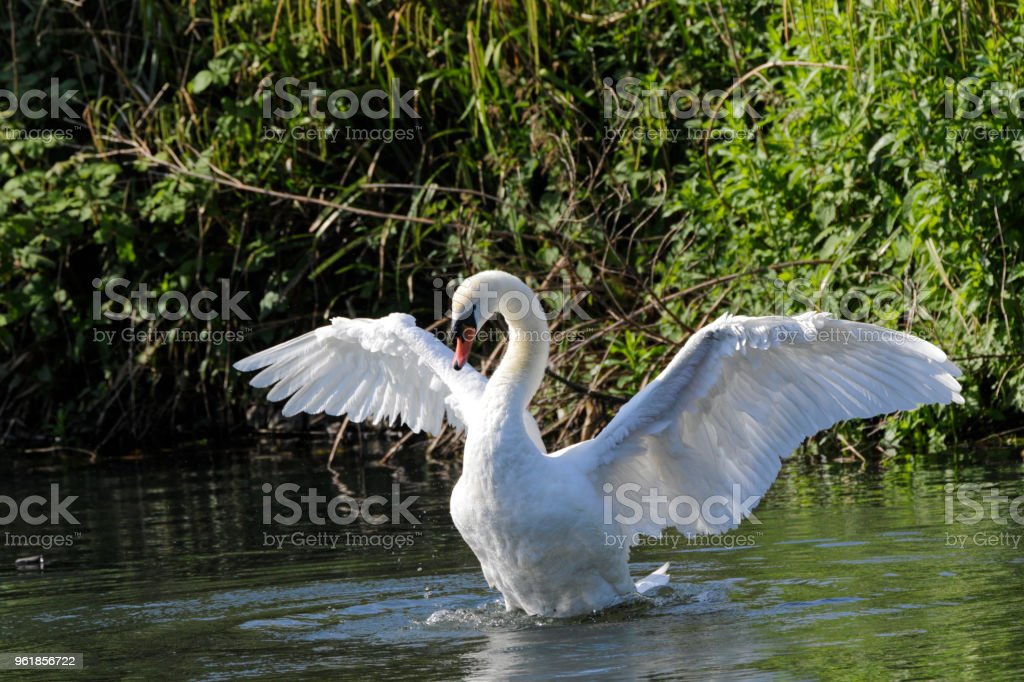 Triumphant settling of feather mute swan heraldic pose stock photo