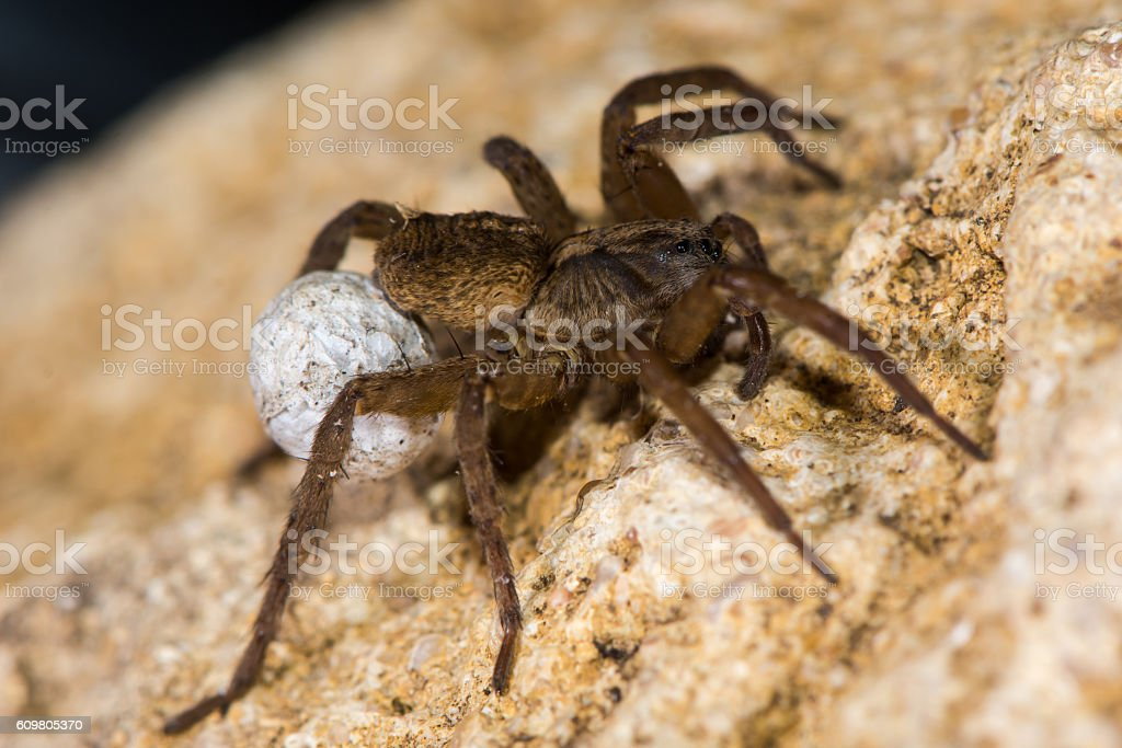 Trochosa ruricola wolf spider female with egg sac stock photo