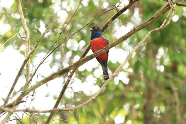 Trogon in Amazon Rainforest stock photo