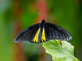 Troides minos or Southern Birdwing close up