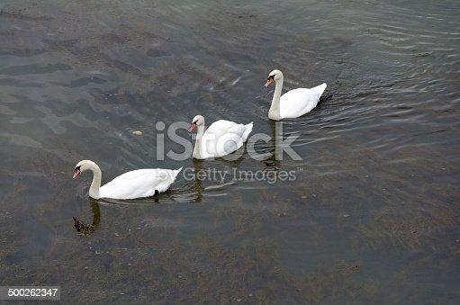 trois cygnes glissent sur le Rhin