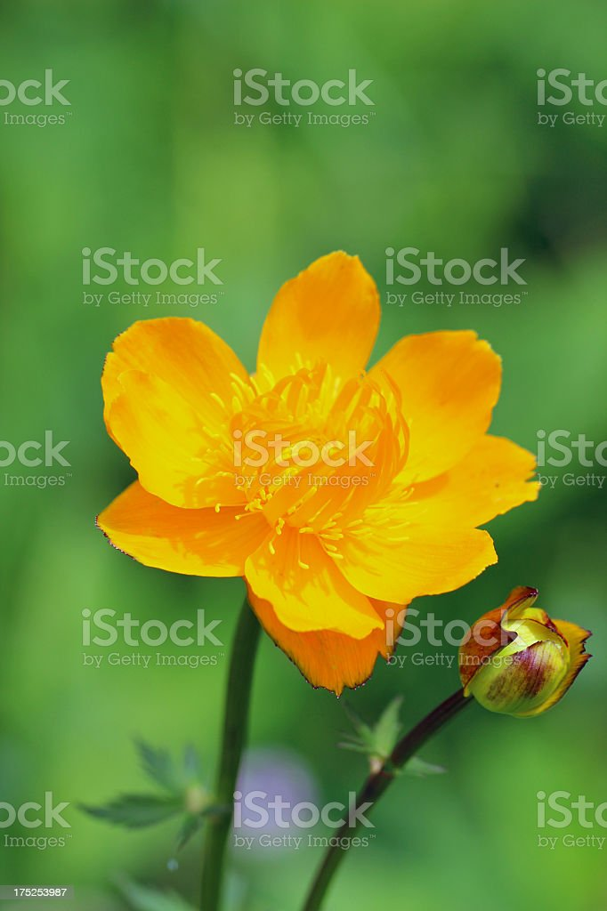 Trollius chinensis flowers royalty-free stock photo