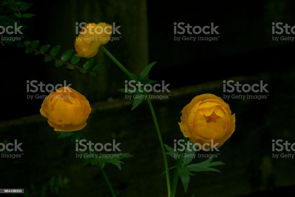 Trollius, israelknowles ou gigante florzinha - Foto de stock de Amarelo royalty-free